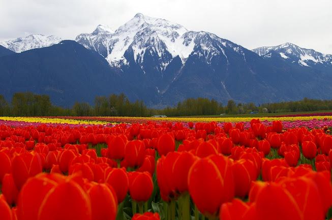 tulipfest4
